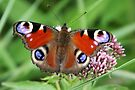 European Peacock - Inachis io by Lepidoptera
