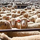 Sheep Sale  by Dilshara Hill