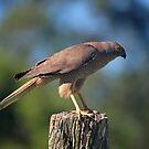 Brown Goshawk. Cedar Creek, Queensland, Australia. by Ralph de Zilva