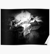 Mixed color Poinsettias 3 Dark Poster