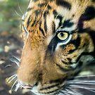 Eye Of The Tiger by Raymond Warren