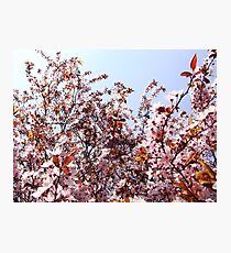 Plumblossoms in spring Photographic Print