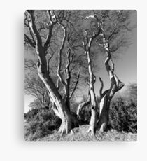 Ravensheugh Beeches Canvas Print