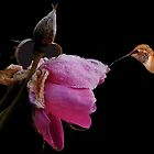FROZEN ROSE~ by RoseMarie747