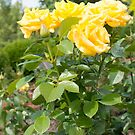 Yellow Roses in a Garden by Siela