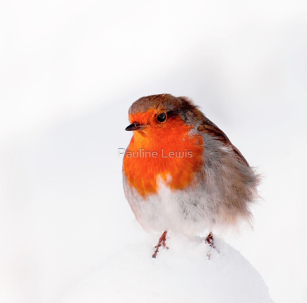 It's a Cold Day Robin by Pauline Lewis
