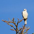 Black-Shouldered Kite by Dilshara Hill