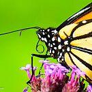 Monarch Butterfly by Nancy Barrett