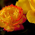 Red-Tipped Yellow Rose by jayneeldred