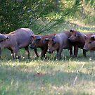 Herd of pigs by Francisco Larrea