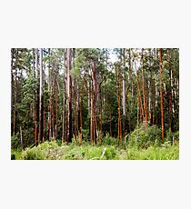 Mountain Ash Forest Photographic Print