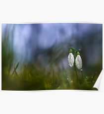 Snowdrops in pair Poster