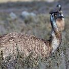 Curious Emu by Will Hore-Lacy