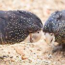 Cockatoos by Sarah Guiton