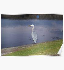 Heron Surveys the Harbour Poster