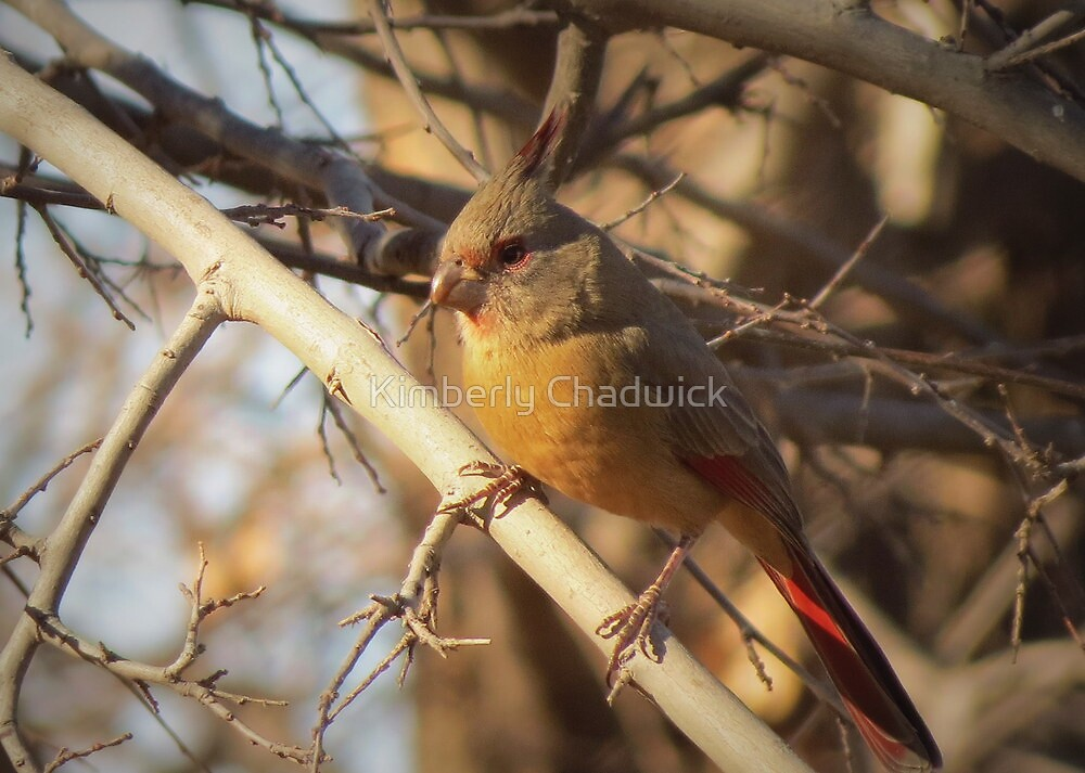 Desert Cardinal~ Pyrrhuloxia (Female)  by Kimberly Chadwick