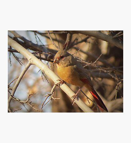 Desert Cardinal~ Pyrrhuloxia (Female)  Photographic Print