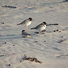 Hooded Plovers (Thinornis rubricollis) - Carrickalinga, South Australia by Dan & Emma Monceaux