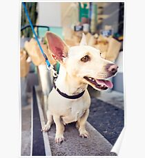 Chihuahua From Pound To Paradise *PROCEEDS TO CHARITY* Poster