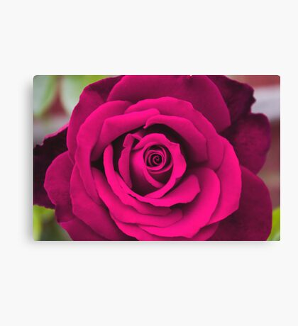 Rosey Pink Canvas Print