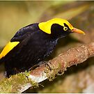 Regent Bowerbird by Robert Elliott