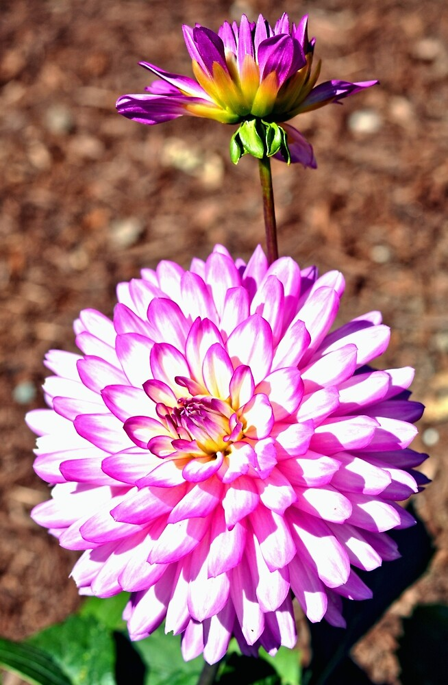 Pink Dahlia by Amy McDaniel