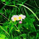 Eastern Daisy Fleabane Flower Abstract Impressionism by pjwuebker