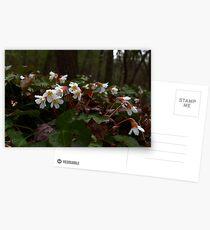 Oconee Bell Postcards