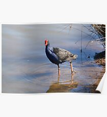 Blue Brested Water Fowl Poster