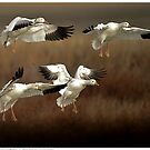 Cleared for Landing - Snow Geese by Dennis Stewart