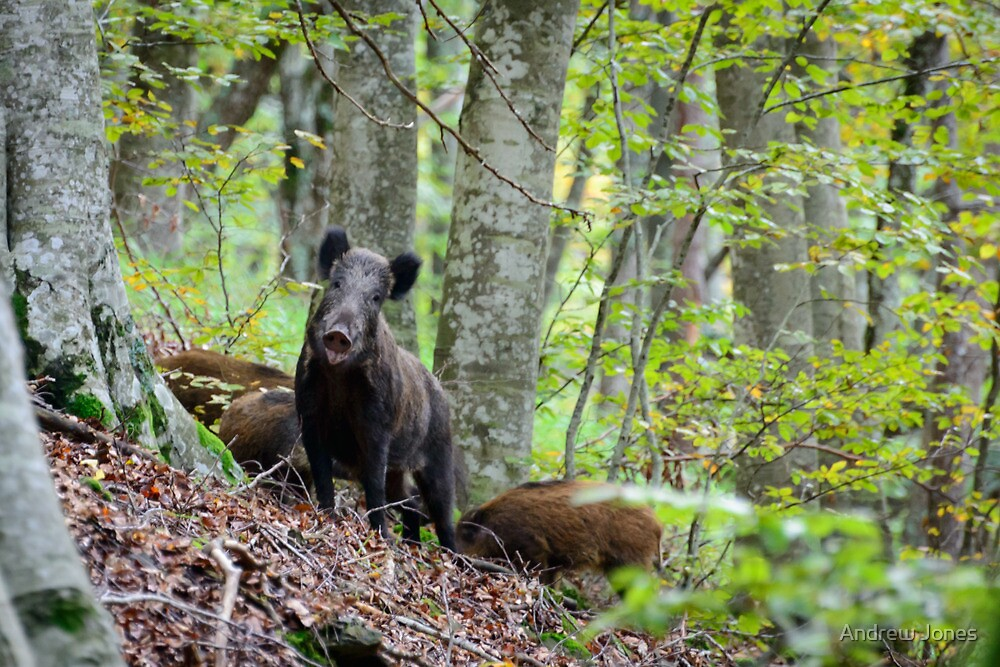 Cinghiale, Parco Nazionale delle Foreste Casentinesi, Tuscany, Italy by Andrew Jones