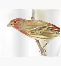 Rosy House Finch Poster