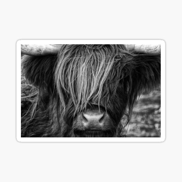 Highland Cow, Scotland Sticker