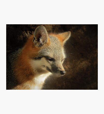 Gray Fox Photographic Print