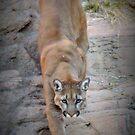 Mountain Lion  by Kimberly Chadwick