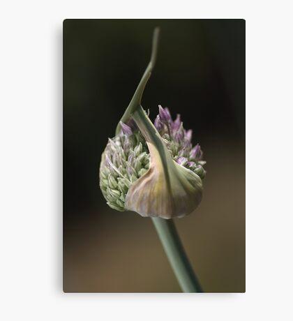 flower-garlic-bud Canvas Print
