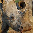 Young white rhino by Explorations Africa Dan MacKenzie