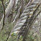 Australian Alpine Treasures, Thredbo NSW by DianneLac
