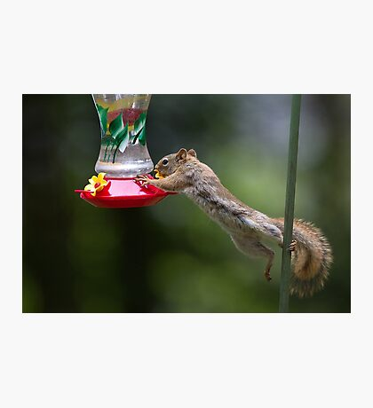 Feet don't fail me now! Red Squirrel Photographic Print