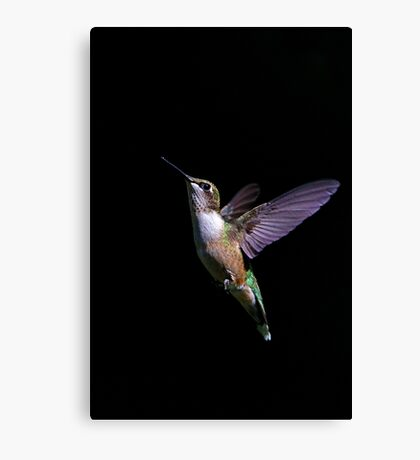 Free - Ruby throated Hummingbird Canvas Print