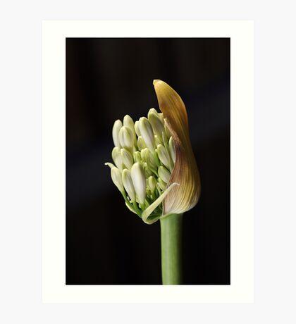 flower-white-agapanthus-bud Art Print