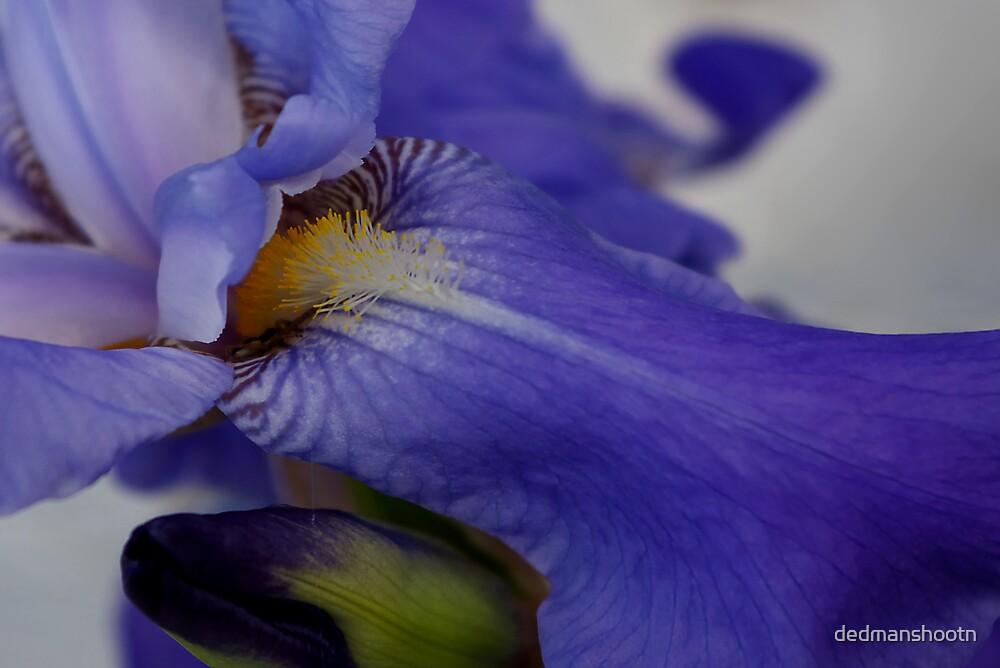 zebra iris 'tongue' by dedmanshootn