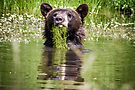 Bear in a pond by amontanaview
