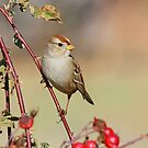 A Juvenile White Crowned Sparrow by Anthony Goldman