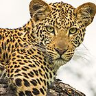 Leopard by J. Day