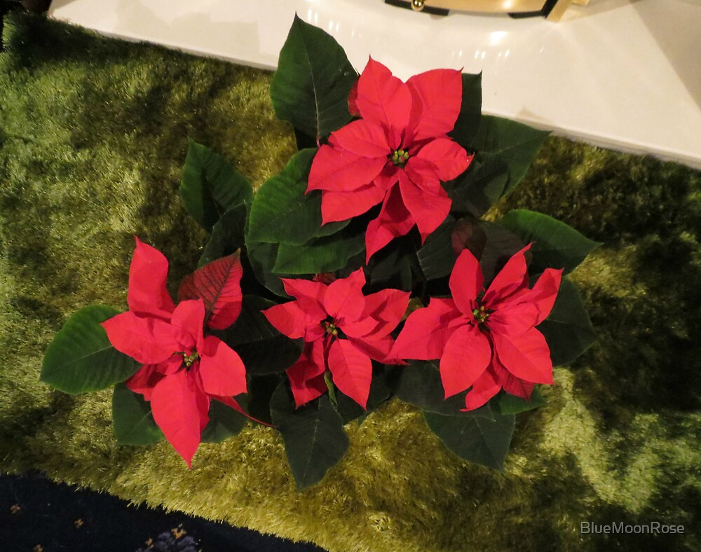 Red Poinsettia by BlueMoonRose