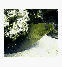 Green Moray Eel Photographic Print
