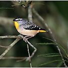 Spotted Pardalote  by Robert Elliott