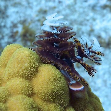 Tiger Striped Christmas Tree Worm on Coral Reef by Scubagirlamy