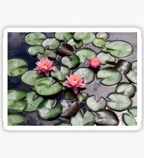 Pink Water Lilly Flower Trio floating on a Garden Pond Sticker